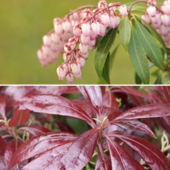 flowers and leaves of Pieris Katsura