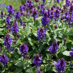 Marvellous Salvias Blue