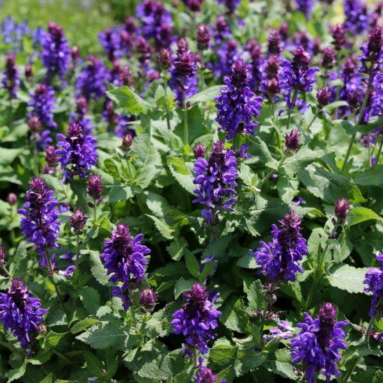 Marvellous Salvias Blue