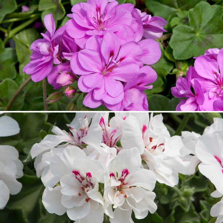 Trailing Geranium Favourites Collection
