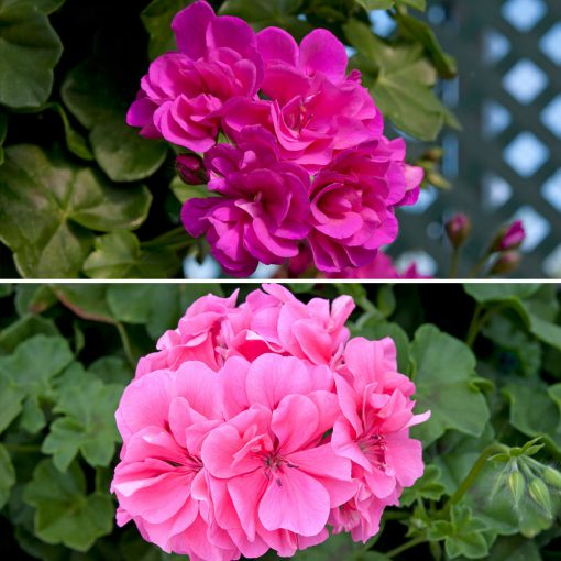 Trailing Geranium Shades of Pink flowers