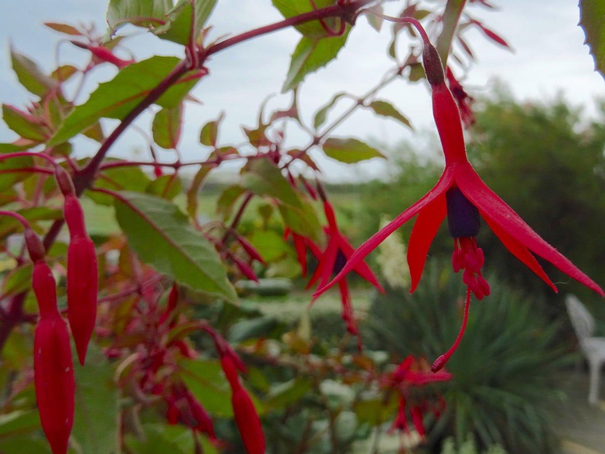Fuchsia Magellican