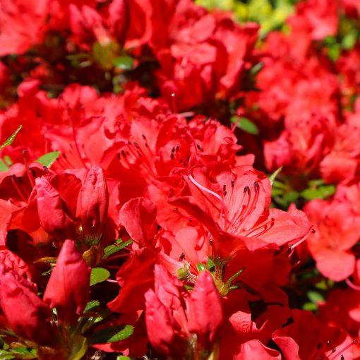 azalea Johanna flowers