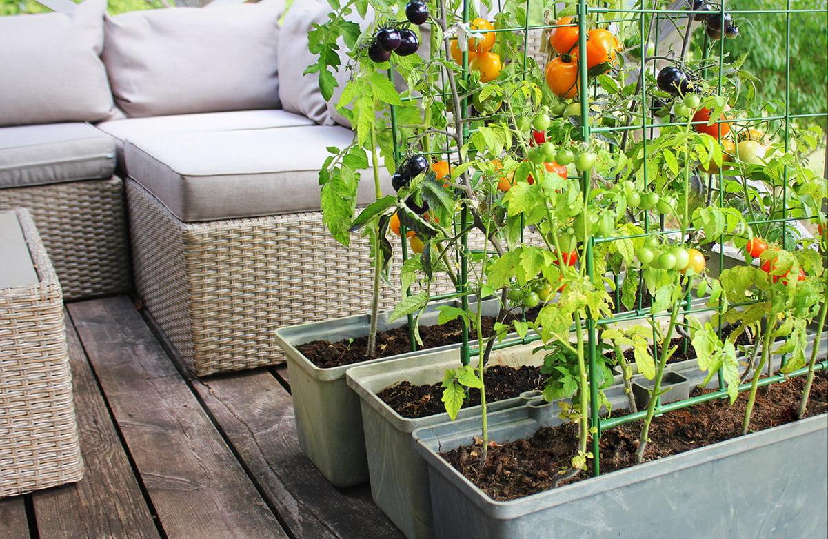 tomatoes growing on balcony