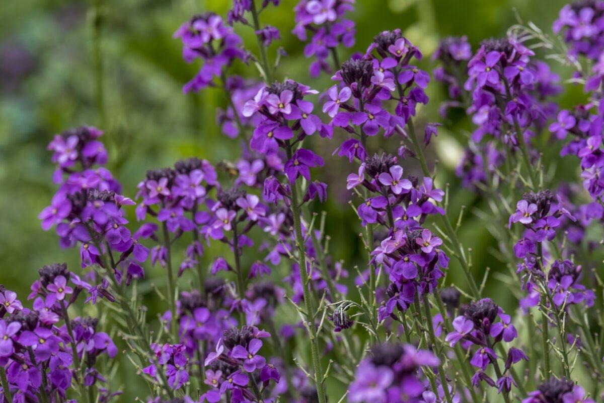 mauve perennial wallflowers