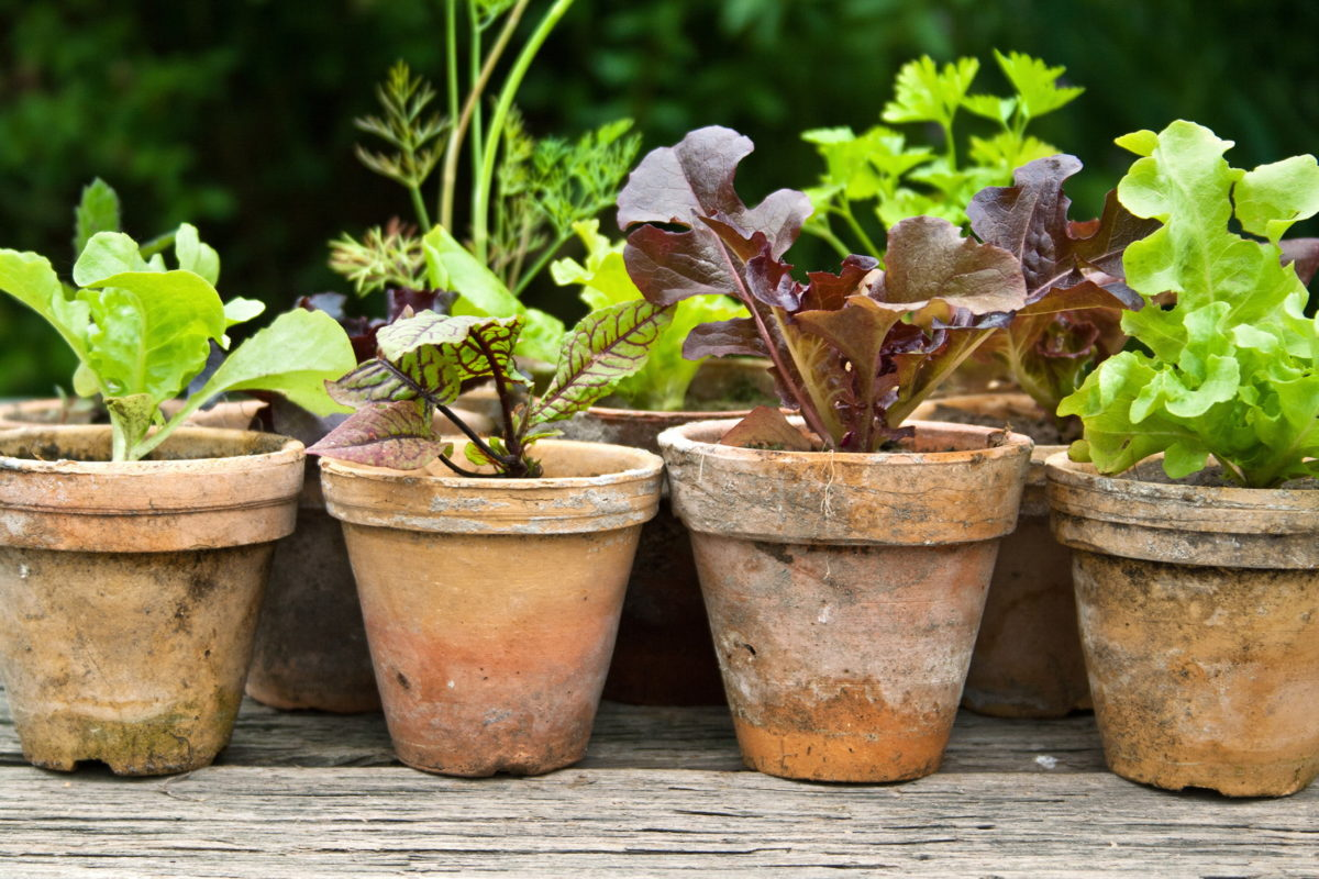 salad growing in small pots