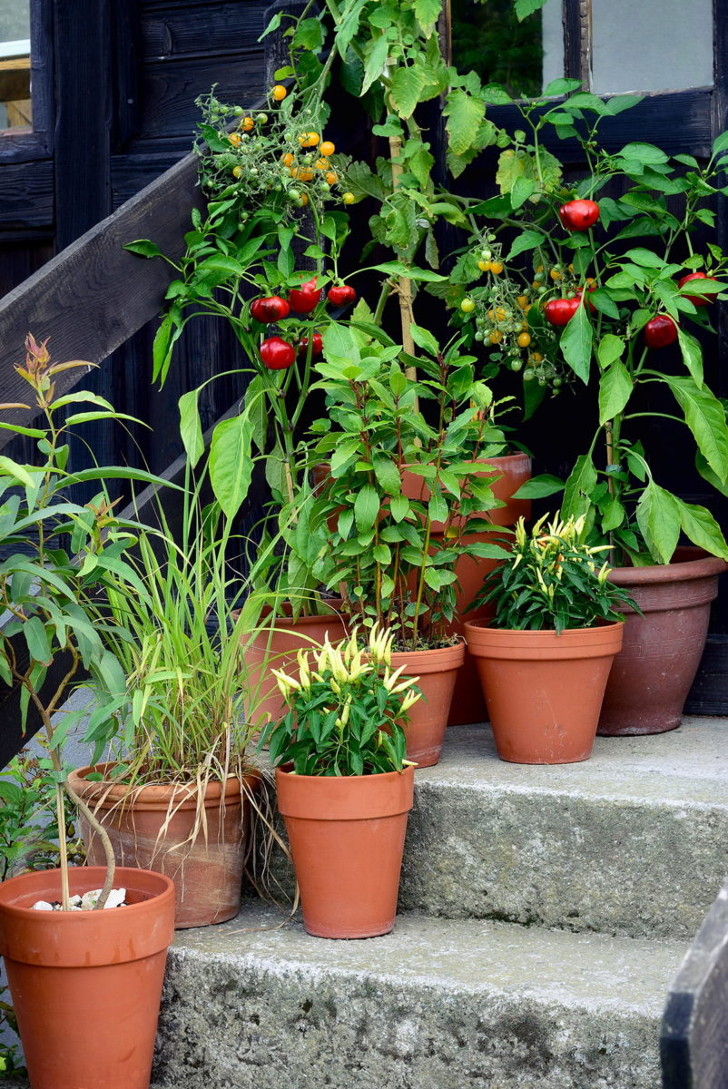 salads growing in containers on steps