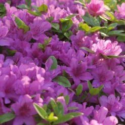 Blue Danube Azalea flowers