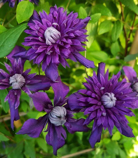 Clematis Kokonoe purple