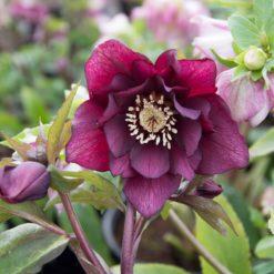 Helleborus Double Purple