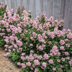 Escallonia Pink Elle lining path