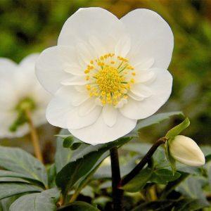 Helleborus Snow Angel single flower