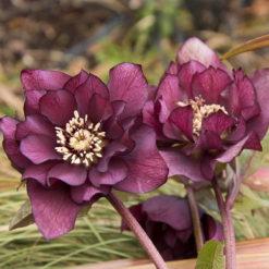 Helleborus Double Purple flowers