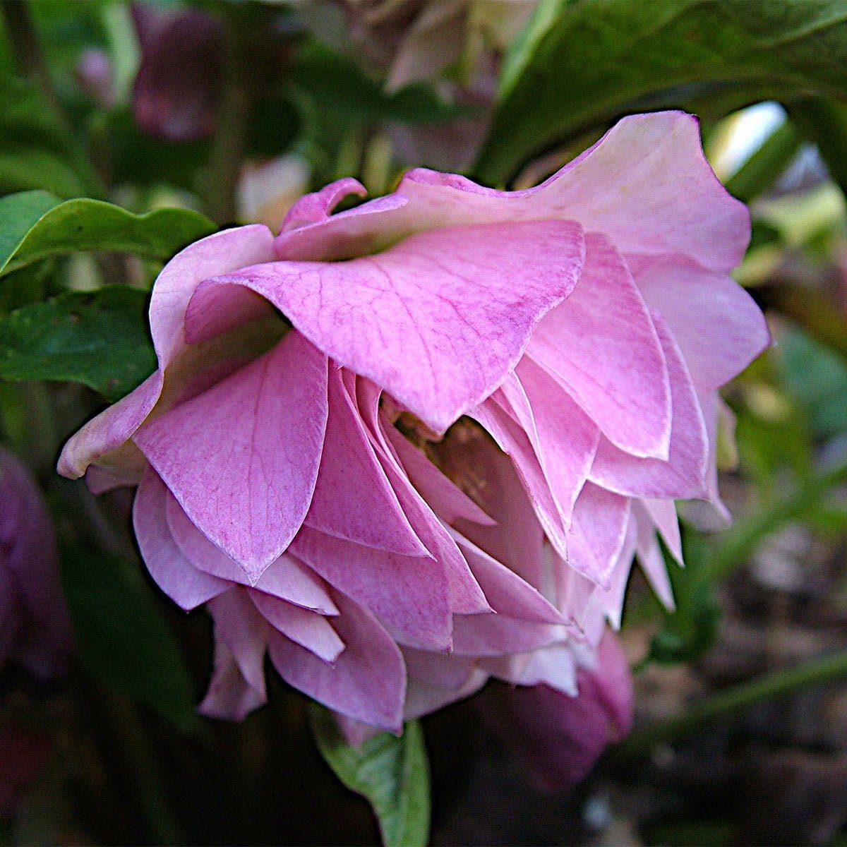Helleborus 'Pink Ballerina'