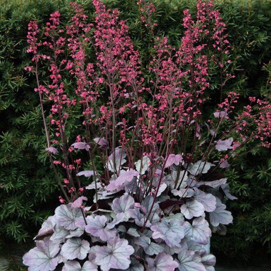 Heuchera Silver Gumdrop with flowers