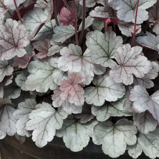 Heuchera Silver Gumdrop leaves