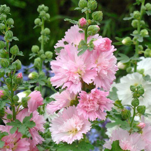 Spring Celebrities Hollyhocks pink flowers