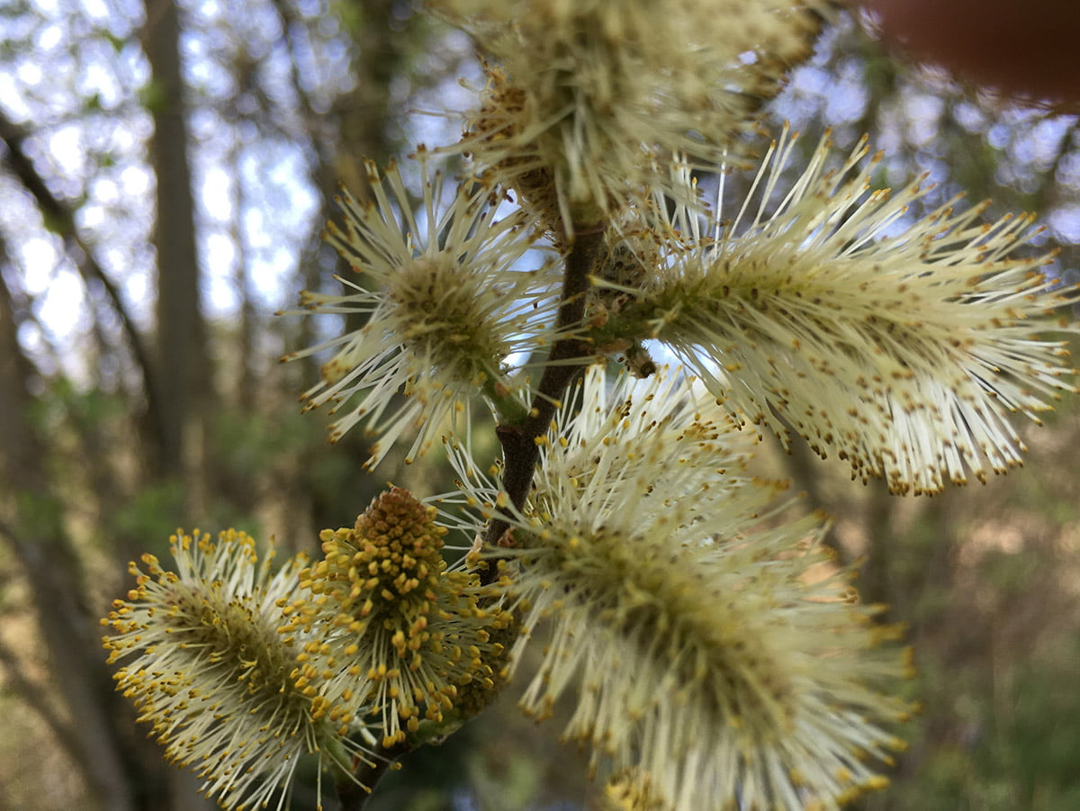 Willow catkins