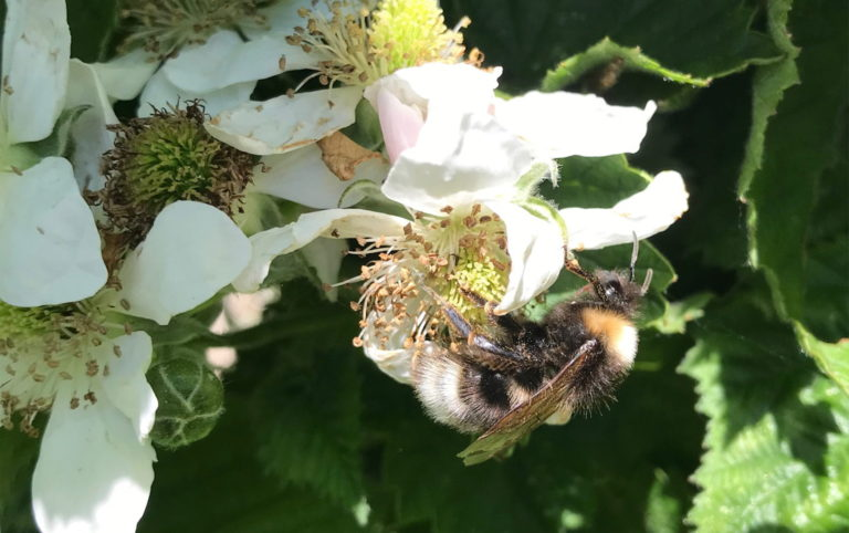 Bee on blackberry flower