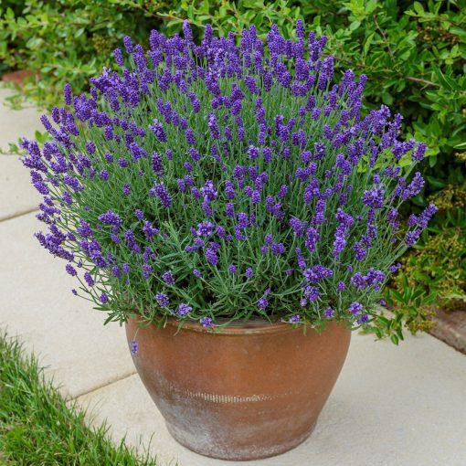 Lavender Bee Zee Dark Blue in pot