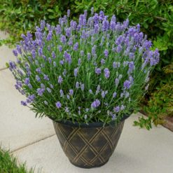 Lavender BeeZee light blue in pot
