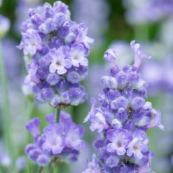 Lavender BeeZee Light Blue flower close up