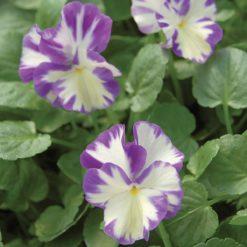 Perennial Viola Rebecca