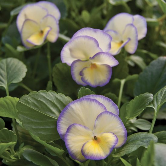 Perennial Viola Etain