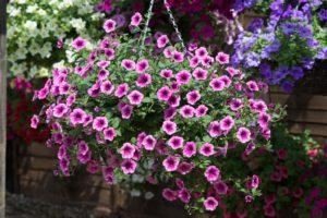 Petunia Surfinia Pink Vein in hanging basket