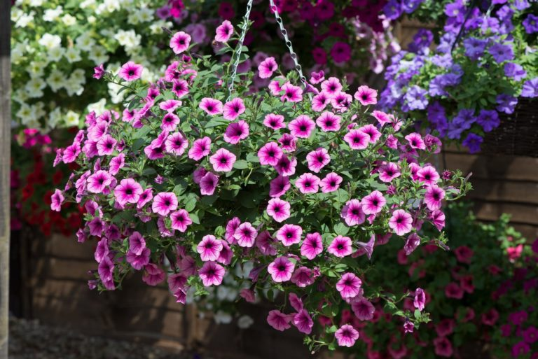 Petunia Surfinia Pink Vein in hanging basket
