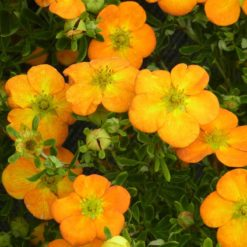 orange flowers of Potentilla Bella Sol
