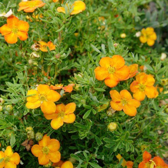 Potentilla Bella Sol plant