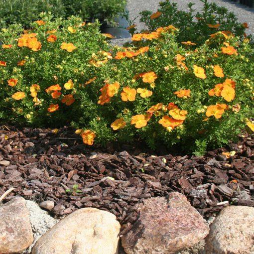 Orange Potentilla Bella Sol plants in border