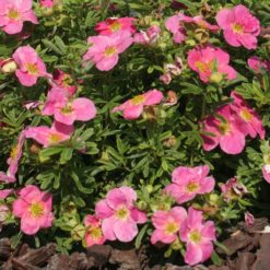 Pink Potentilla Bellissima Flowers