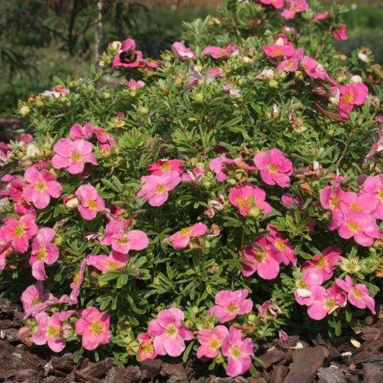 pink Potentilla Bellissima flowers