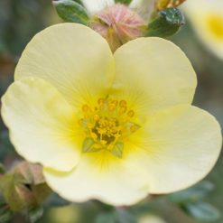 yellow flower of Potentilla Primrose Beauty