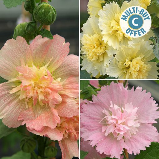 Spring Celebrities Hollhocks flowers