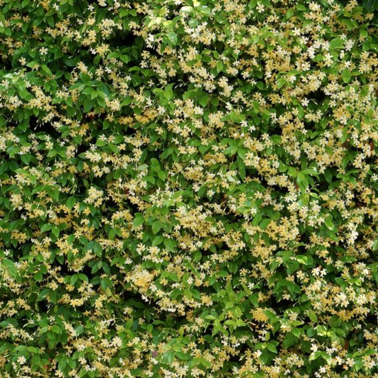 Trachelospermum Jasminoides Star of Toscane wall of yellow flowers