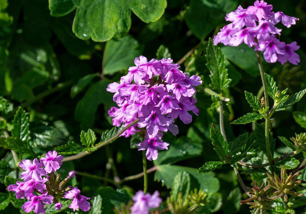 Peter Seabrooks Lavender