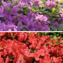 Evergreen Azalea red and purple