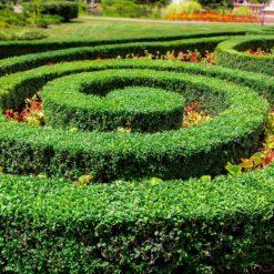 box plant spiral hedge