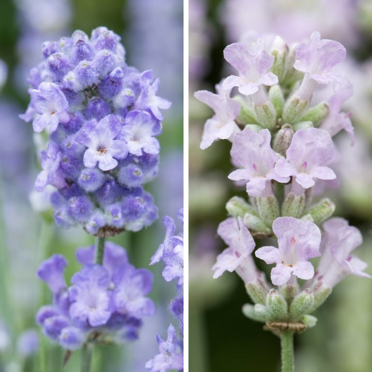 Lavender BeeZee light blue and pink