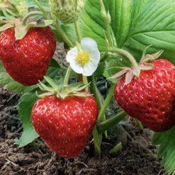 strawberry malling champion