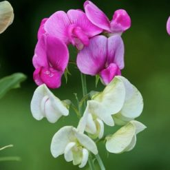 AGM Perennial Sweet Pea white and pink