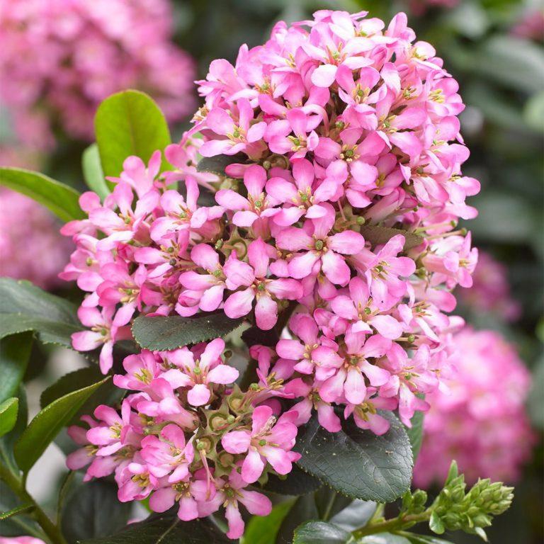 Escallonia pink elle close up