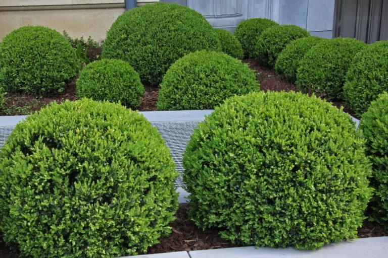 ball shaped box hedges