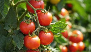 home-grown tomatoes on the vine