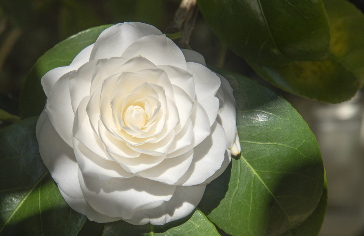 white camellia flower