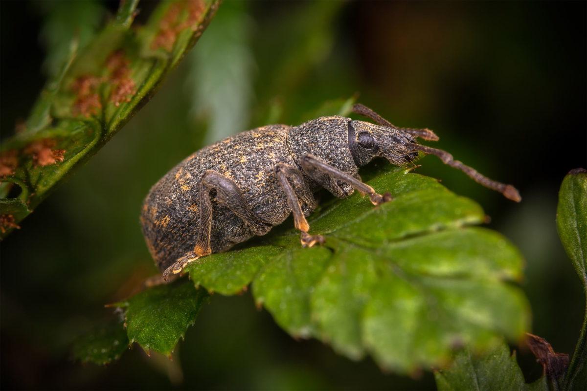 vine weevil close up