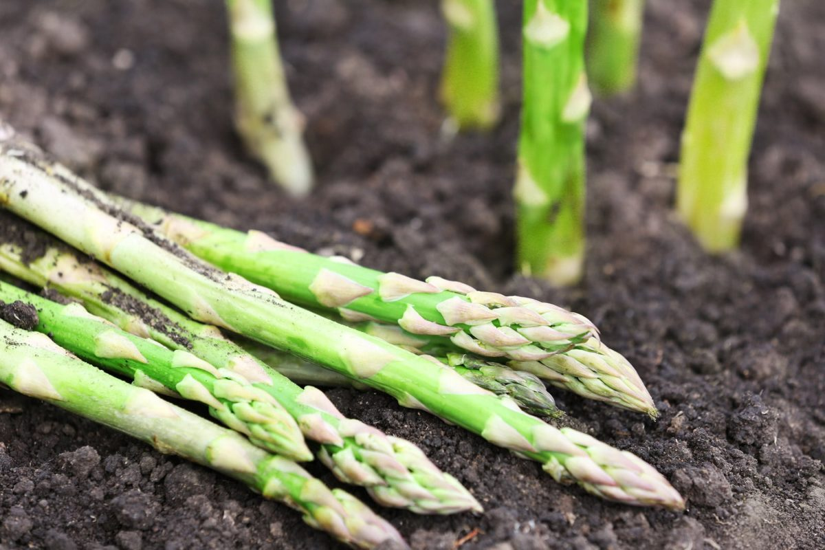 harvested asparagus spears